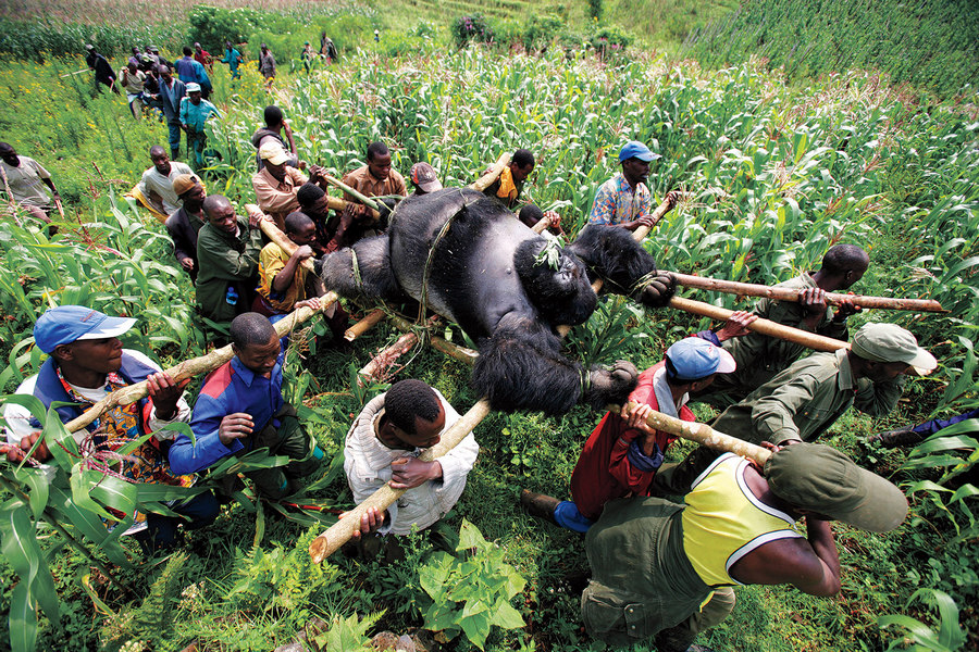 Gorilla in the Congo Brent Stirton 2007
