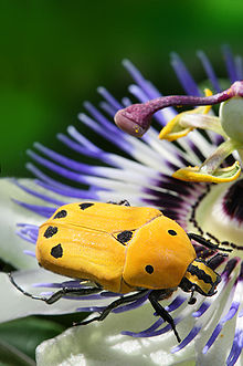 Euchroea-auripimenta-on-passiflora.jpg